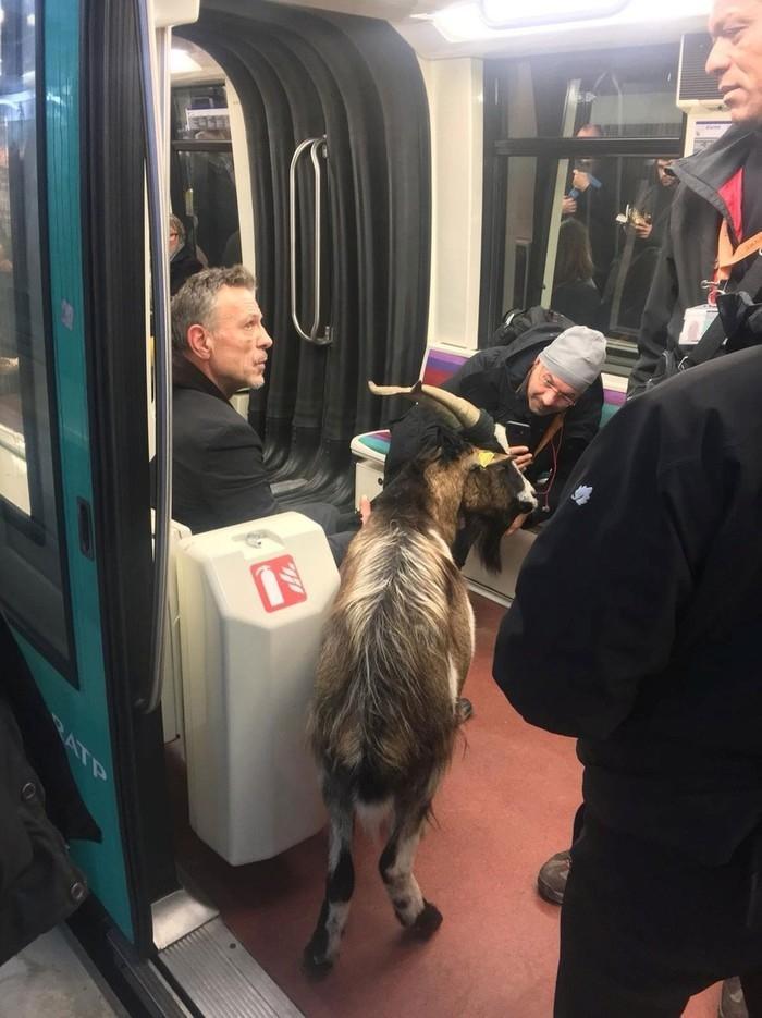 Homem leva cabra a trem do metrô em Paris  (Crédito: CHRISTOPHE CHENUT/TWITTER/@CHCHENUT/via REUTERS )