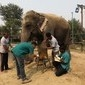 Primeiro hospital de elefantes da Índia é inaugurado; fotos