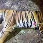 Tigresa que teria matado mais de 10 pessoas é abatida na Índia