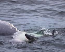 Turistas presenciam tubarão de 6 metros comendo baleia; foto