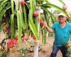 Produção de Pitáia além da qualidade será superior a do ano passado