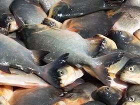 População recebe peixe para o consumo durante a semana santa
