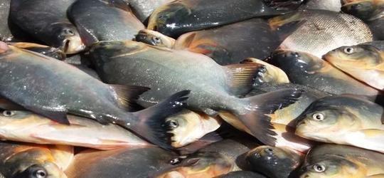 Resultado de imagem para peixes semana santa