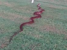 Jóquei encontra píton de 4,5 metros atravessando raia no gramado