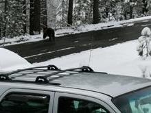Polícia liberta urso que se trancou dentro de caminhonete