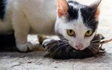 Você sabe por que os gatos trazem animais mortos para casa?