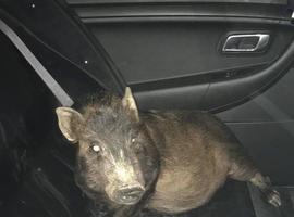 Homem liga para polícia para denunciar que era perseguido por porco