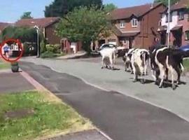Mulher corre após ver 100 vacas e imagem viraliza na internet