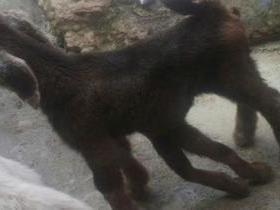 Em Pernambuco, cabra nasce com seis patas e viraliza na internet