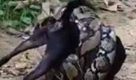 Homens salvam cão e impedem que ele seja engolido por cobra