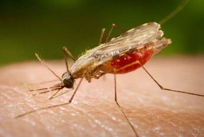 O Anopheles é o transmissor da malária, que tem cura, se for tratada logo e de forma adequada  (Crédito: Portal Biologia/Divulgação)