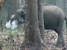 """Imagem de elefante """"fumando"""" em floresta intriga cientistas"""