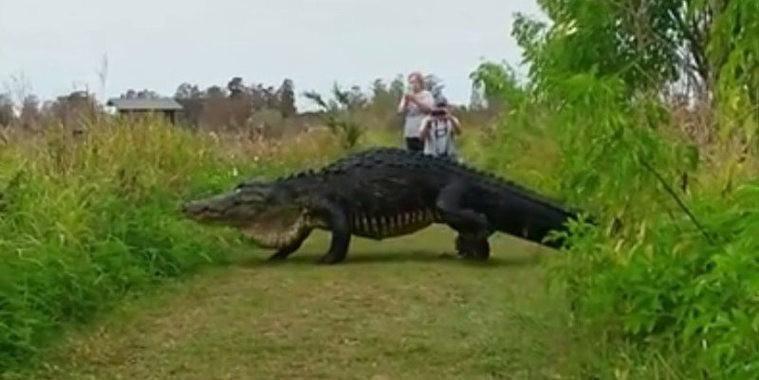 Imagem registra jacaré gigante saindo de um pântano nos EUA