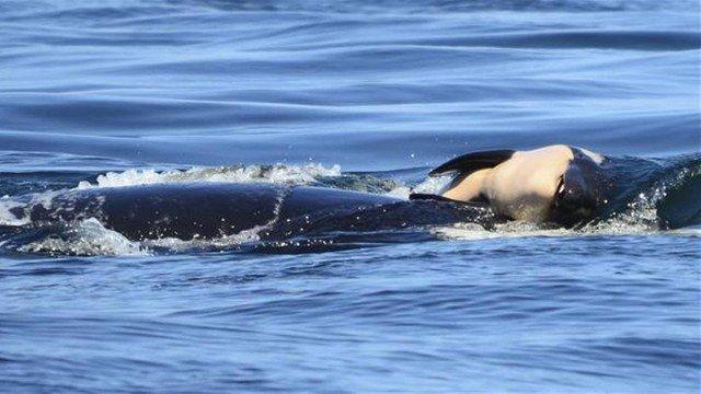 Orca carrega filhote morto pela Costa Oeste dos EUA (Crédito: AP)