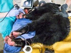 Filhote de urso com patas queimadas é tratado com pele de peixe