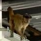 Macaco fica mais de 30 horas em supermercado de Goiânia