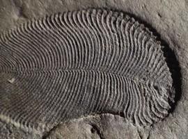 Cientistas descobrem fóssil de animal com 558 milhões de ano