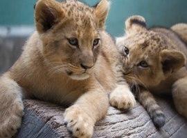 Zoológico abre votação para escolher nomes de leoas filhotes