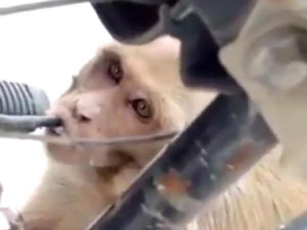 Macaco é flagrado roubando combustível de motos para beber