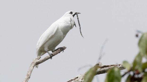Araponga-da-amazônia em um galho