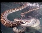 """Jacaré adulto briga com cobra Píton jovem debaixo d""""água. Vídeo"""