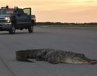 Jacaré gigante agressivo é flagrado em plena estrada nos EUA  ; Vídeo
