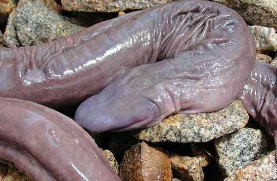 Conheça a cobra-pênis, que na verdade é uma espécie rara de anfíbio  - Imagem 1