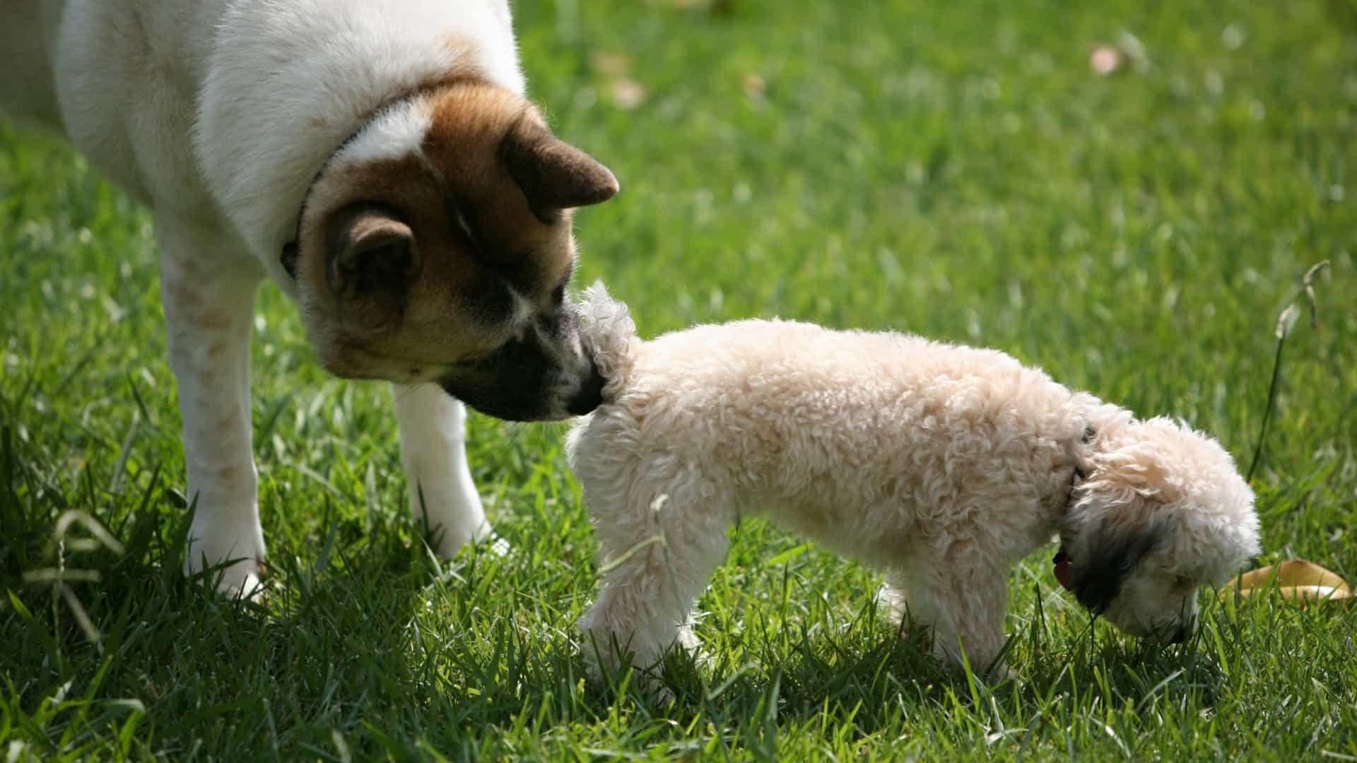 Cheirar o rabo funciona como se fosse uma espécie de cartão do cidadão canino, diz veterinária. Foto: iStock.