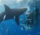 Tubarão-branco morre ao ficar preso em gaiola de segurança