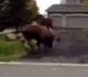 Vídeo que mostra dois alces brigando no Alasca se torna viral; Veja!!