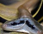 Cobra letal de duas cabeças pode matar 20 pessoas com uma mordida