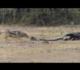 Briga selvagem entre cobra, texugo e chacais acaba de forma trágica
