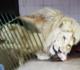Leão ataca tratador em zoológico e quase arranca seu braço; veja vídeo