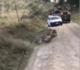 Zebra consegue escapar de um ataque violento de Leão