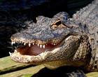 Vídeo mostra crocodilo 'galopando' semelhante a um cavalo; assista