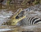 Fotógrafo brasileiro flagra crocodilo abocanhando zebra em rio