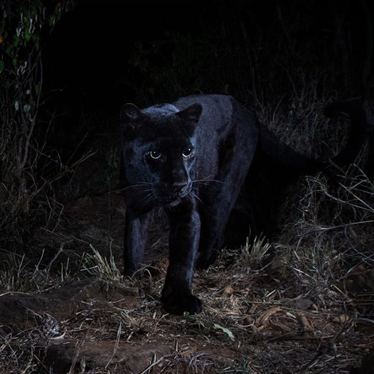 """""""Pantera negra"""" é fotografada pela primeira vez em 100 anos"""