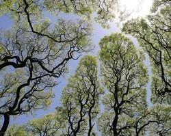 Curiosidade: Árvores que não se encostam