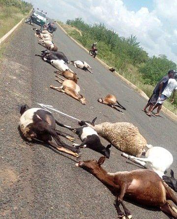 Veículo mata 30 ovelhas entre  municípios de Curral Novo e Paulistana