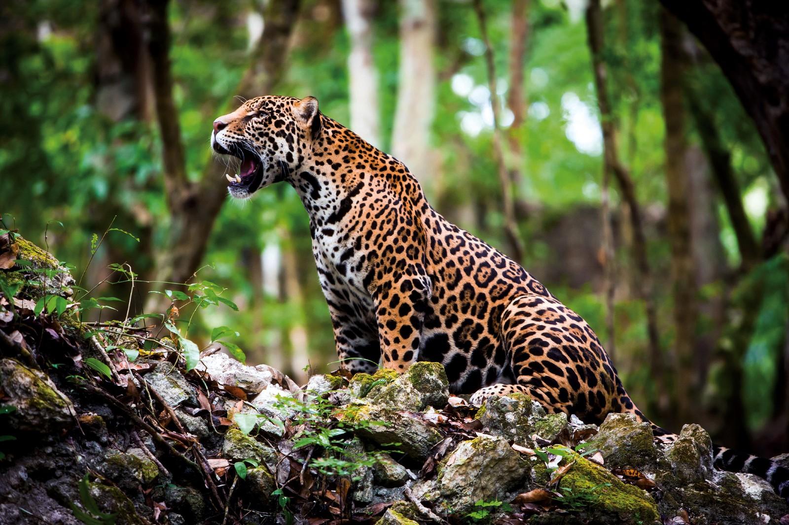 Onça-pintada está criticamente ameaçada de extinção na caatinga - Imagem 2