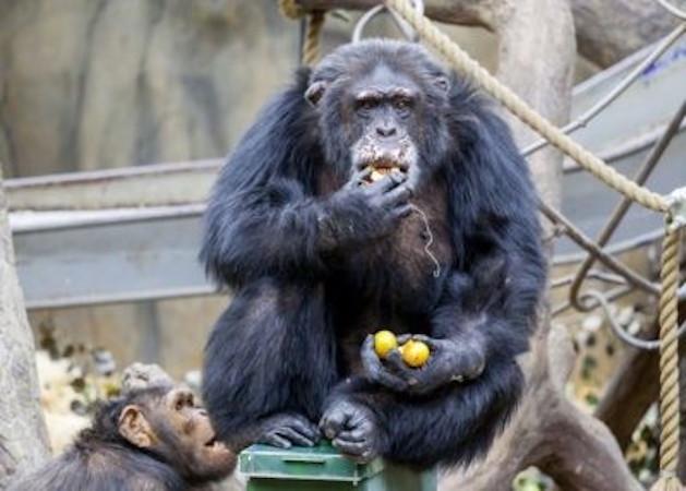 Chimpanzé tenta devorar o próprio braço após ser drogado em zoológico