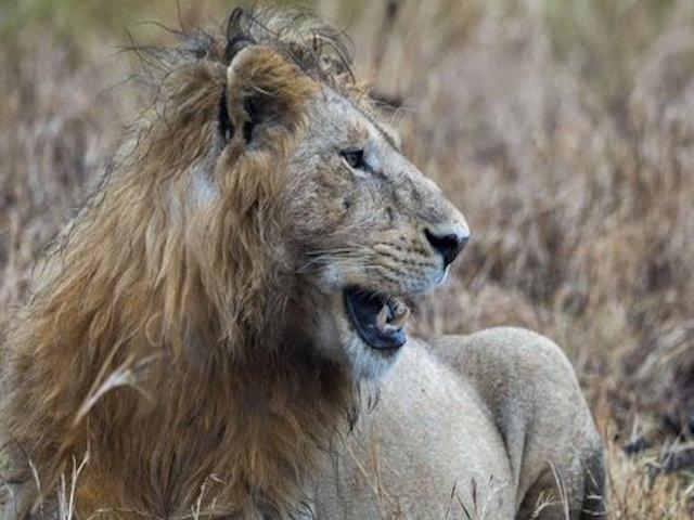 Caçador é pisoteado por elefante e comido por leões em parque