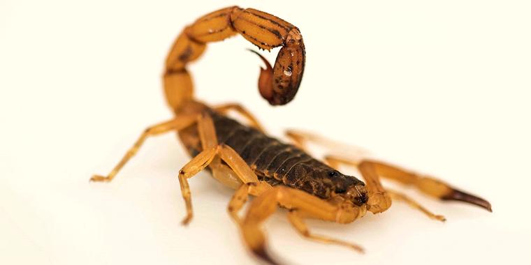Aumenta o número de acidentes com escorpiões