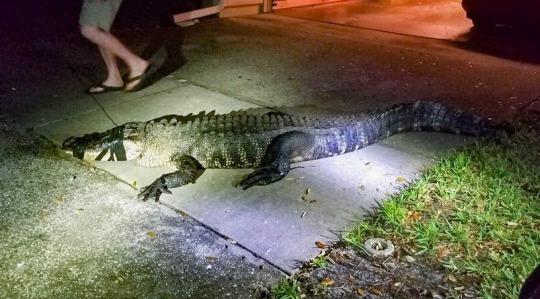 Jacaré gigante invade cozinha de idosa na Flórida - Imagem 2