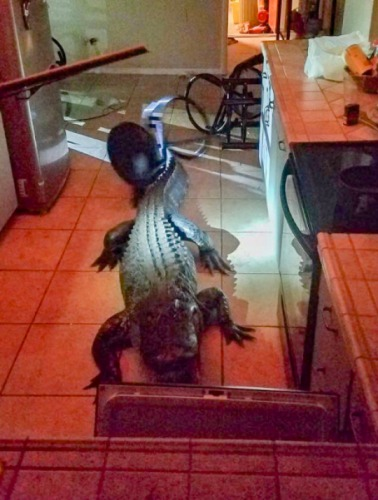 Jacaré gigante invade cozinha de idosa na Flórida - Imagem 1