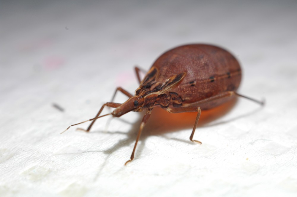 Doença de Chagas: saiba os perigos - Imagem 1