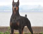 Conheça 10 raças de cachorro que são agressivos e você não sabe