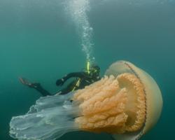 Vídeo: Mergulhadora filma encontro com água viva gigantesca