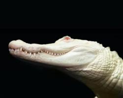 Jacaré albino raro morre de infecção após ficar vermelho
