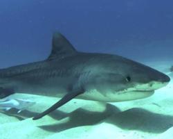 Vídeo: Pescador corajoso arrasta tubarão de volta pro mar pela cauda